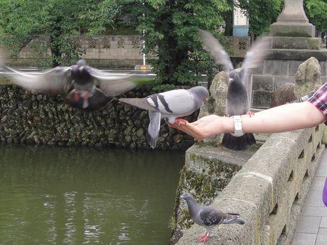 腕に乗る鳩